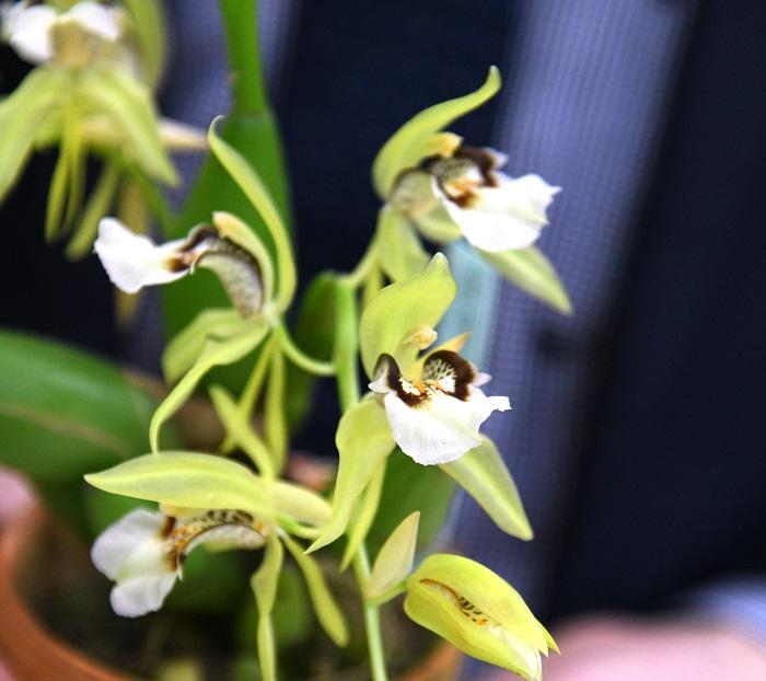 「もう一つおすすめしたいのが、こちらのセロジネ グリーンエルフ。セロジネは白い花のものが多いのですが、こちらは緑花。内側に模様も入った存在感がある花です。花も大きく、たくさん咲いて育てやすいので、ラン初心者にもおすすめですよ」