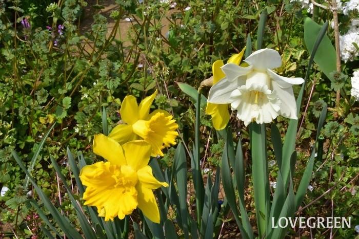 「水仙(スイセン)」の花言葉は「自己愛」「神秘」。  黄色の水仙の花言葉は「私のもとへ帰って」。  白の水仙の花言葉は「神秘」。  ラッパ水仙の花言葉は「尊敬」。