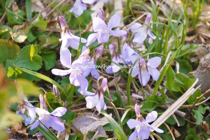 ■学名:Viola  ■科名:スミレ科  ■分類:多年草  春の訪れを知らせるように、早春から咲き始めるすみれの花。草丈短く、切ってしまうとあまり長持ちしない花ですが、それでもすみれのブーケは人気があります。  「すみれ色」「バイオレット」と言えば、深く濃い紫色を指す言葉。「すみれ」「バイオレット」は女性の名前に使われることが多く、世界中で女性らしい可憐な花だと解釈されていることがわかります。  ほのかに香る、甘い香りが魅力です。