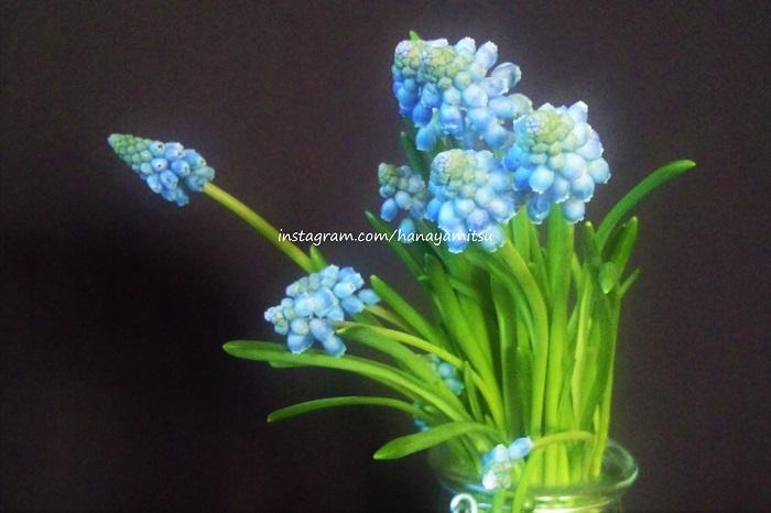 英名はGrape hyacinth。その名の通り、ブドウを逆さにしたような形をしています。青味がかった紫の花には芳香があり、その香りもファンが多い理由です。  小さな粒を集めたような小花は、花でありながら果実のような趣で周囲の雰囲気を引き締めてくれます。  花茎も10~15㎝と短めなので、球根ごと使用することもあります。花束やアレンジメントに入ってると、思わず覗き込みたくなるような可愛らしさです。