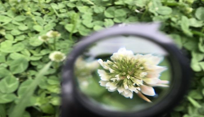 シロツメクサの画像 p1_36
