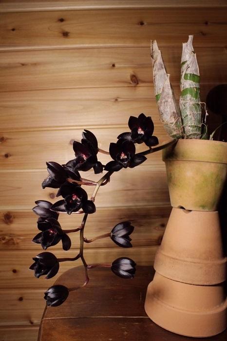 フレッドクラーケアラ・アフターダーク'ブラックパール'  妖しい黒花を咲かせる人気品種。クロウェシア、カタセタム、モルモデスの三つの属のよいところを掛け合わせてつくられたもの。 「しっかり育てれば花数が増えやすく、花弁が肉厚なので花もちもいいですよ。」