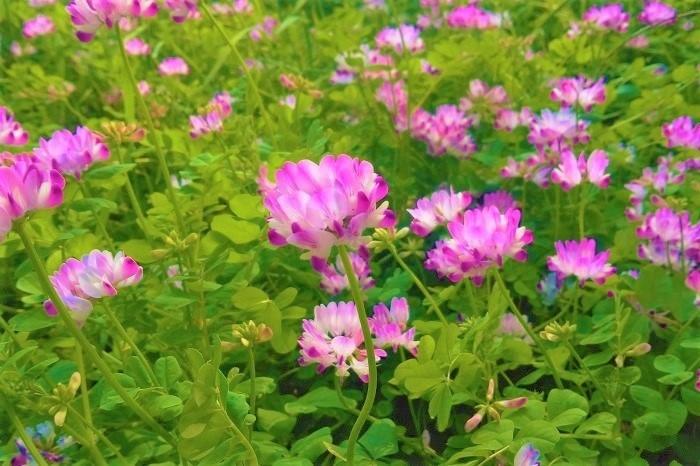 学名のAstragalus sinicusのsinicusは、ラテン語で中国を指す言葉です。この学名から、蓮華(れんげ)は中国原産の植物だということがわかります。  蓮華(れんげ)は、その花姿が蓮の花を連想させるとされ、この名前が付きました。これは日本名で、中国では蓮華(れんげ)とは呼びません。  本によっては「ゲンゲ、ゲンゲソウ」が正式和名とされていますが、「レンゲ、レンゲソウ」という発音で間違いではありません。「レンゲ」という呼び名の方が馴染みがあって親しみやすく感じます。