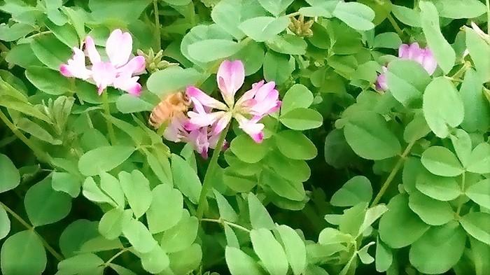 蓮華(れんげ)と言えば蜂蜜!と言っても言い過ぎではないくらい、蓮華(れんげ)の蜂蜜は有名です。蓮華(れんげ)蜂蜜は文字通り、蓮華(れんげ)の花の蜜から出来ています。  蓮華(れんげ)の花から採れた蜂蜜はクセが無く、とても親しみやすい蜂蜜です。国産蜂蜜として販売されている中でも蓮華(れんげ)蜂蜜は人気があります。