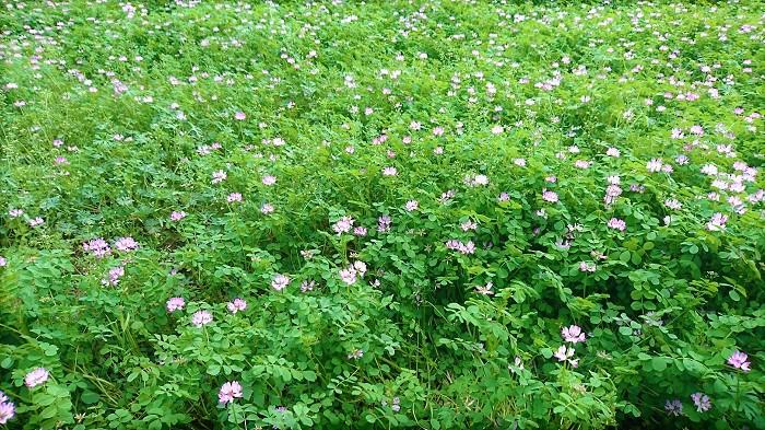 蓮華(れんげ)の花は春に咲きます。桜の花が終わって暖かさも増し、藤の花が咲き始めた頃が蓮華(れんげ)の花が咲く季節です。近頃は温暖化の影響か、年々植物の開花時期が早まっているので何月と特定しづらいのですが、東京近郊では4月中旬から下旬くらいです。  蓮華(れんげ)の花の季節には郊外まで蓮華(れんげ)畑を探しに行きたくなります。一面ピンク色の蓮華(れんげ)畑は圧巻です。走って行ってダイブしたいような衝動に駆られます。ただ、遠くから見ると一面ピンクに見えた蓮華(れんげ)畑は、近づくと疎らな(まばらな)ピンク色の絨毯になってしまって、寂しくなるが常です。隣の芝生が青く見えるように、遠くの蓮華(れんげ)も濃く見えるようです。