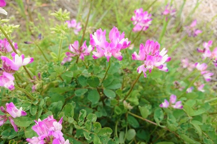 蓮華(れんげ)の花言葉は「心が和らぐ(やすらぐ)」です。蓮(ハス)の花に似ていると言われているように、蓮華(れんげ)の花は見ているだけでほっとするような可愛らしさがあります。