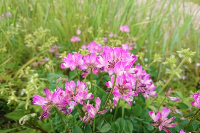 ■和名:レンゲソウ(蓮華草) ■学名:Astragalus sinicus ■科名:マメ科 ■分類:多年草 ■別名:紫雲英、ゲンゲ 蓮華(れんげ)は春になると、野原をピンクの絨毯に染め上げる可愛らしい草花です。その花は小さなマメの花の集合体で、複数の小花を放射状に広げるように咲かせます。  花の付け根は白く、花びらの先にいくに従ってピンクが濃くなっていきます。塗りつぶしたようなピンク単色ではない複雑さも蓮華(れんげ)の花の魅力です。