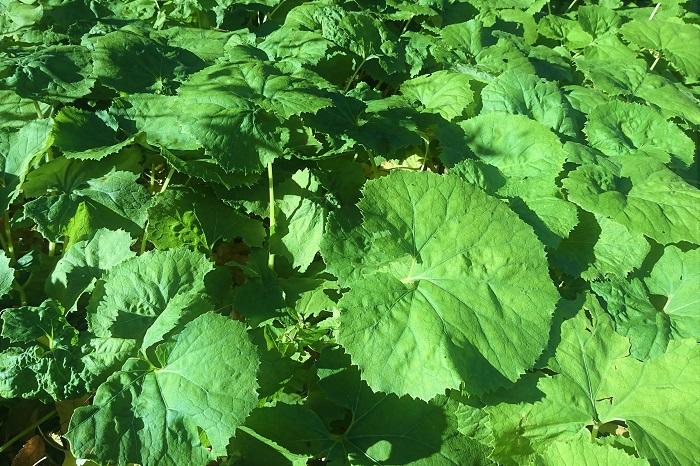 ■学名:Petasites japonicus  ■科名:キク科フキ属  ■分類:宿根草  フキ(蕗)は日本の山野に自生する宿根草です。北は北海道から南は沖縄まで広く分布しています。丸く大きな柔らかい葉が特徴です。数少ない日本原産の野菜と言えます。