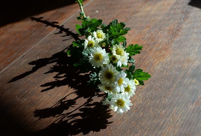 はい。この菊は、お世話になった園芸家「杉井明美」さんのお母様が育てていらしたものを株分けでいただきました。株分けでいただいてからずっと大切に育てています。今日は切り花として持ってきました。