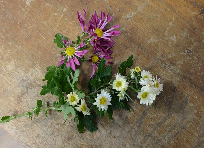 紫色の花も菊ですが、これは自分の母から株分けしてもらったものです。  (大切な方から株分けしてもらった菊を大事に育てて、その菊は毎年美しい花を咲かせて見る人を楽しませている。とても素敵なお話をお聞きすることができました。)