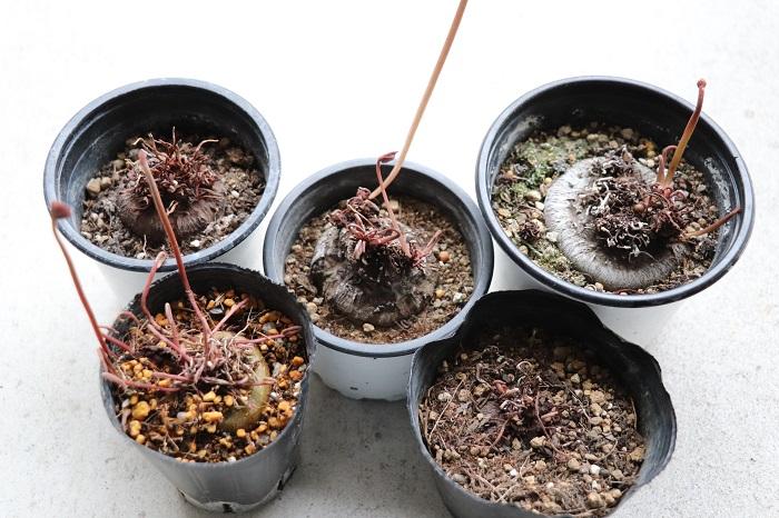 このガーデンシクラメンはベランダで夏越しさせたものですが、真夏はクリスマスローズの鉢の間に置き、クリスマスローズの葉っぱの陰でなるべく涼しく管理しました。ガーデンシクラメンには水やりはせず、雨や、他の植物に水やりした水が少しかかる程度で過ごしました。写真左下のポットは原種シクラメンです。原種シクラメンもガーデンシクラメンと同様に夏越ししました。