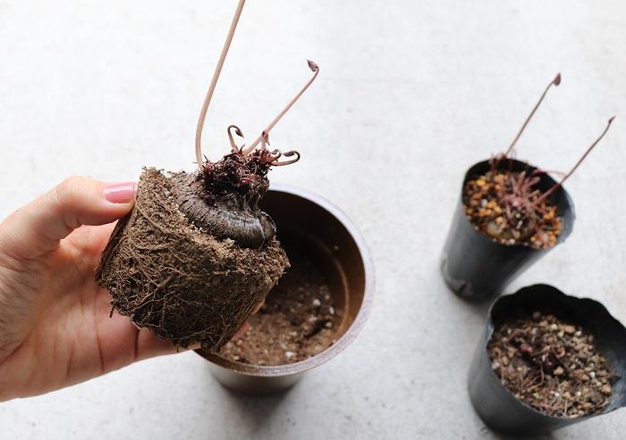 球根が腐らずに夏越しできたので、10月初め頃一回り大きい鉢に新しい肥料入り培養土を使って植え替えました。根は崩さずにそのまま植えます。