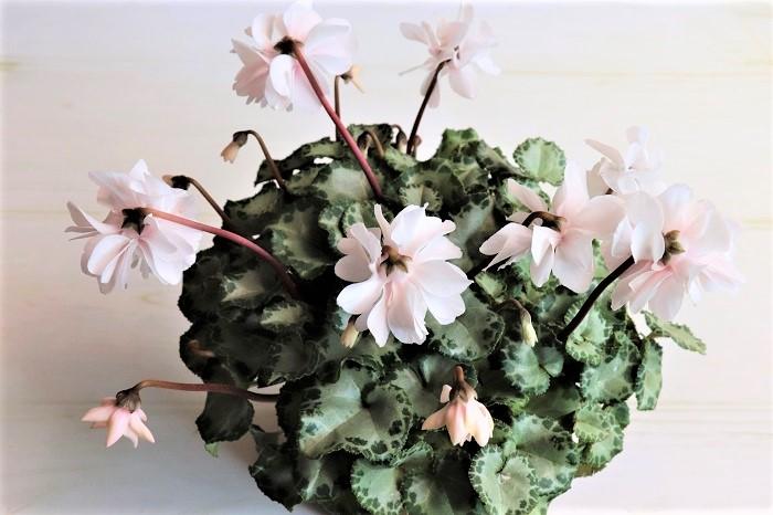 シクラメン カレン  八重咲きの白い花が株全体に散りばめられたように咲きます。  室内の窓辺でも育てられますが、東京以西では霜にあたらなければ冬も外で楽しめます。