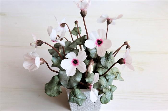 シクラメン アンジュ  とても珍しい、上向きに咲くシクラメンです。シルバーリーフも美しくとても上品です。  室内の窓辺でも育てられますが、東京以西では霜にあたらなければ冬も外で楽しめます。