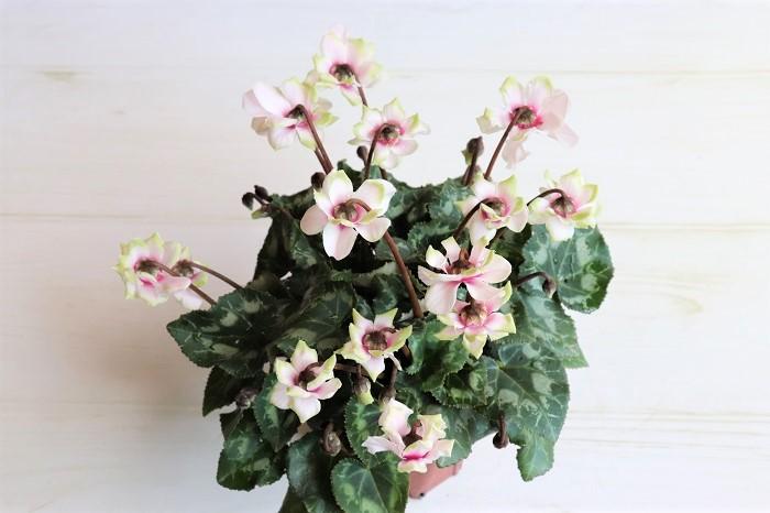 ガーデンシクラメン グリーンティアラ  八重咲きで、花弁の先端がグリーンがかっています。  日あたりを好みます。耐寒性があり、東京以西では冬も外で楽しめます。