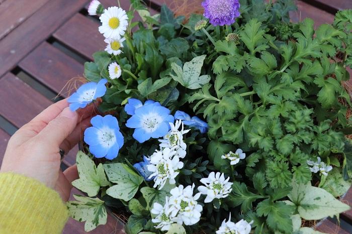 一年草のネモフィラ、アネモネ、イングリッシュデージーは5月頃までは美しいのですが、暑くなってくると姿も乱れて元気もなくなってきます。その頃が植え替え時です。初夏から寒くなるまで咲く花やカラーリーフに植え替えましょう。  多年草のスカビオサ、イベリスは6月頃まで花が楽しめます。スカビオサは比較的冷涼な気候を好むので、温暖地では夏は半日陰の風通しの良い場所に置いてあげると元気に夏を超えられます。イベリスは暑さや乾燥に強いので翌年も花が楽しめます。  木本のヘデラは、いつも常緑で楽しめます。  一年草の部分を別の花に植え替えて引き続きこの鉢を楽しむ場合は、スカビオサとヘデラのことを考えると真夏の強い直射日光は避けて明るい半日陰の風通しの良い場所に置くことがおすすめです。一年草を植え替える際は、明るい半日陰でも育つ草花を選ぶと良いですね。