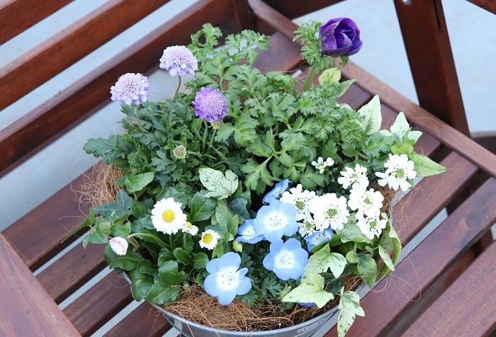 今回のテーマは、「ブルー系の寄せ植え」です。ネモフィラ、アネモネ、スカビオサのブルーを美しく引き立たせてくれる草花を合わせて寄せ植えします。  寒い間は植物の生長がゆっくりなので、苗がきゅっと肩を寄せ合ってこじんまりと可愛らしいですが、春になるとそれぞれの花が勢いよく咲き誇り、寄せ植えがボリュームアップします。その姿を見るのを楽しみに育てましょう。