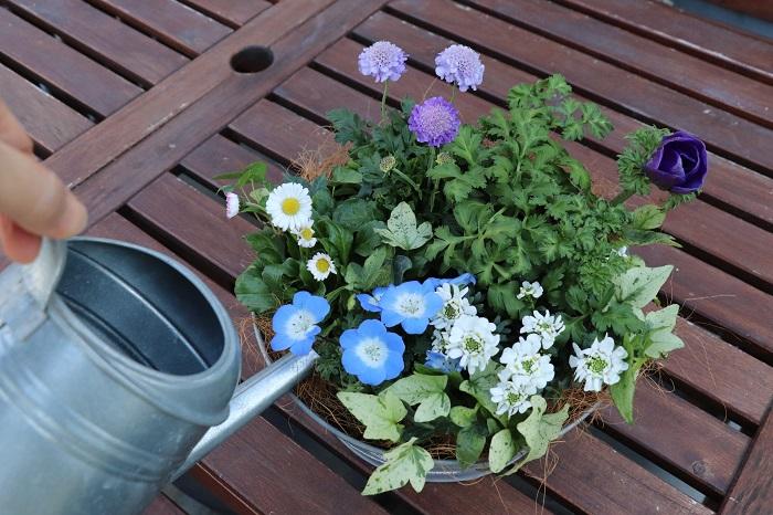 冬は1~2日に一度、暖かくなってきたら天気の良い日は毎日お水をあげましょう。お水は花や葉にかけるのではなく、株もとからあげることで美しく育ちます。