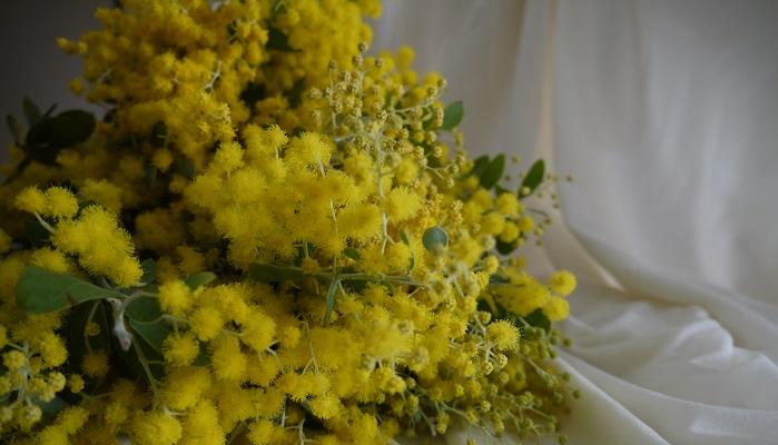 ミモザという星があるのをご存知ですか?日本では沖縄の離島からしか見ることのできない星座、南十字星の中のひとつにβcruxという星があります。この星の別名がmimosaなのです。mimosaと名付けられた理由はその星の色が青白いからだ、ということです。・・・はてなんで青白いからミモザ?ミモザは真っ黄色のお花じゃないの・・・と思いますよね。そうなんです、実はここで言うミモザは、オジギソウのことを指します。オジギソウ科の学名はmimosa。そもそもmimosaはオジギソウ科の学名。しかしミモザ(本来はアカシア)が日本に入ってきたときに、オジギソウに葉が似ていたことから、誤ってミモザという名前が伝わってしまったようです。ミモザの語源はラテン語で「物まね、模倣」を意味する「mimus(ミムス)」です。オジギソウに触ると葉が閉じるその様をそんな風に例えるんですね。