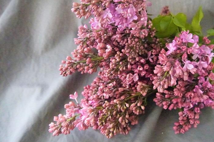 学名:Syringa vulgaris 科名:モクセイ科 分類:落葉小高木 花期:4~5月 色:紫、白、ピンク