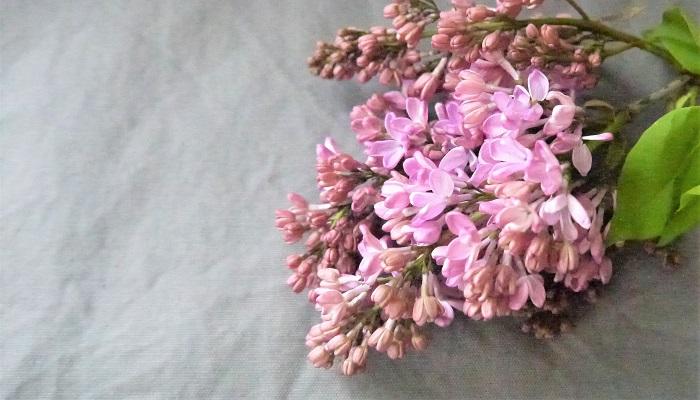 こんなに魅力的なライラックのお花、買ってきてすぐにぐったりしてしまったのでは悲しくなります。ここでは、せめて少しでもライラックに長く可愛く咲いてもらえるようなコツをご紹介します。  花が落ちてこないものがベスト ライラックの花を購入する時には、軽く枝を振ってみましょう。元気がない枝は小花がパラパラと落ちてきます。小花が落ちてこないものを選びましょう。  ライラックの枝は大きくカット ライラックの枝の一番下を大きく斜めにカットします。切り花用のナイフがあると便利です。ハサミしかお持ちでないという方は、頑張ってできるだけ斜めに切ってあげてください。  中綿を取る 枝を大きく斜めにカットしたら、切り口から見える部分にある白い中綿を取り除きます。この中綿を取り除くことで、茎中の管の通りがよくなって水の吸い上げがよくなります。  皮を剥く ライラックの枝の皮を剥ぎます。水に浸かる分くらいは剥いでしまいましょう。外皮を剥ぐことで表面からも水分を吸収しやすくなります。