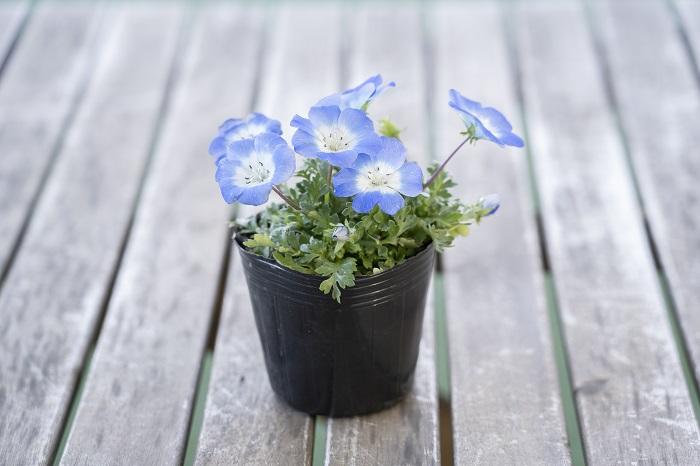 この苗を選んだ理由 寒さに強く、花は5月頃まで楽しめます。まだ寒い頃から春まで楽しめるブルー系の花といえば、まずネモフィラ。その中でも美しいスカイブルーのネモフィラを選びました。  育て方のコツ 日なたと水はけのよい用土を好みます。桜の咲く頃に勢いを増して開花します。高温多湿に弱いのでどちらかといえば乾燥気味を好みます。水やりは土の表面が乾いたら株元にたっぷりとあげます。