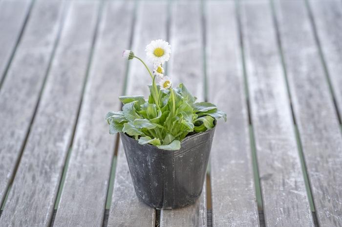 この苗を選んだ理由 寒さに強く、花は5月頃まで楽しめます。原種のデージーで、野の趣があります。ブルーを引き立てる上品なホワイト系の花の二つ目として選びました。花の中心がイエローなので、控え目でありながら明るいポイントになります。  育て方のコツ 日なたと水はけのよい用土を好みます。強い乾燥が苦手です。夏が苦手なため、寒冷地では多年草になりますが暖地では一年草扱いになります。