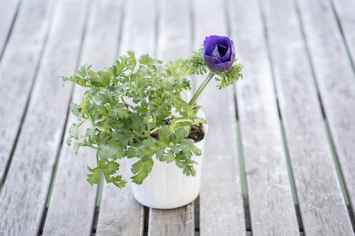 この苗を選んだ理由 寒さに強く、花は5月頃まで楽しめます。まだ寒い頃から春まで楽しめるブルー系の花で、ネモフィラに負けないインパクトがある花はアネモネ。花色は白やピンク、赤、グリーン系もありますが、今回はブルー系の花苗の一つとして選びました。  写真のアネモネのように、葉っぱが良く育ち濃い緑色で株がしっかりしているものを選びましょう。根元にたくさんのつぼみがついていると、一つ目の花が咲き終わっても次々と花が咲きます。  育て方のコツ 日なたと水はけのよい用土を好みます。定期的に追肥をして、土の表面が乾いたら株元に水をたっぷりとあげます。