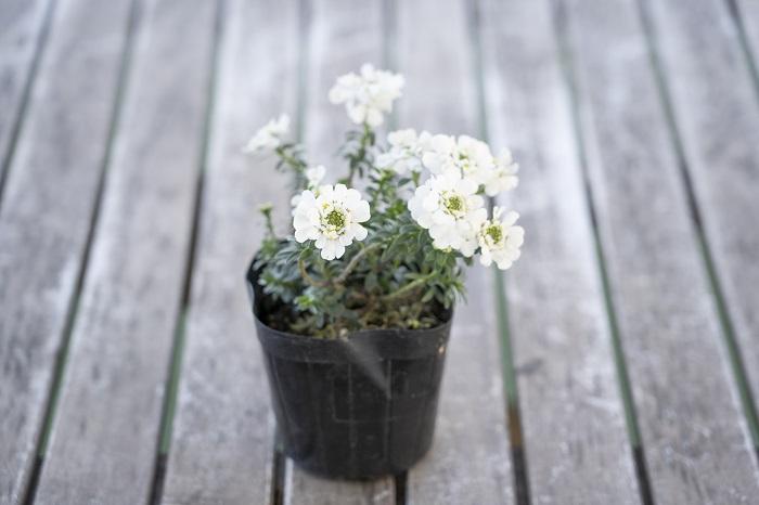 この苗を選んだ理由 寒さに強く、花は6月頃まで楽しめます。ブルーを引き立てる上品なホワイト系の花といえばイベリス。お砂糖のお菓子のようなかわいい花が株をおおうように咲きます。清楚で気品あふれる姿に魅了されます。  育て方のコツ 日なたと水はけのよい用土を好みます。暑さや乾燥に強く、丈夫で育てやすいですが、直根性で移植は嫌いです。