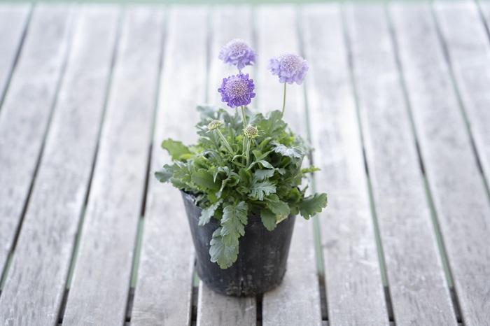 この苗を選んだ理由 寒さに強く、花は6月頃まで楽しめます。3つ目のブルー系花苗として、スカビオサを選びました。爽やかで優しい印象の丸い花を次々に咲かせます。  育て方のコツ 日なたと水はけのよい用土を好みます。過湿に弱いため、土が乾いてからお水をあげます。比較的冷涼な気候を好むので、温暖地では夏は乾燥に気をつけて半日陰の風通しの良い場所に置いてあげると元気に夏を超えられます。