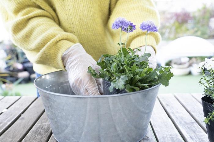 苗の高さをチェックして、水をあげる時に土が流れ出ないようにするウォータースペースが1㎝ほど確保できることをイメージします。