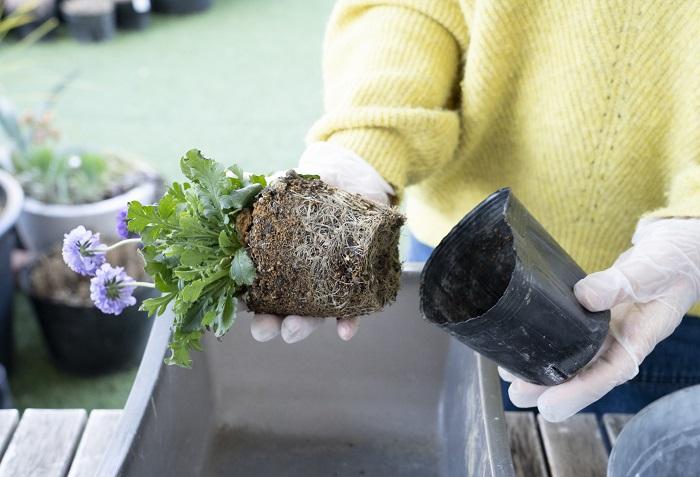 後ろ側に植えるスカビオサをポットから出します。