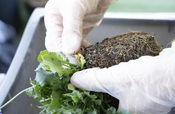 根元の黄色くなった枯葉やゴミなどを取り除きます。
