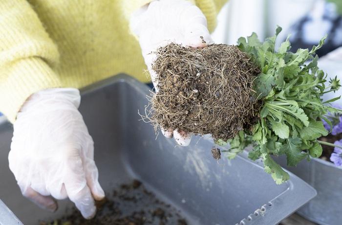 このように根をくずすことで根が活性化され、植え付けた後の根の張りが良くなります。