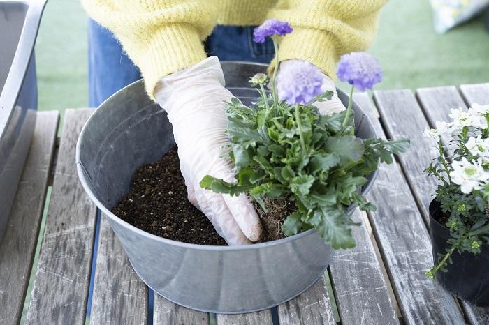 植え付けた後にスカビオサがどのように伸びていくかイメージしながら、美しく見える向きに配置します。