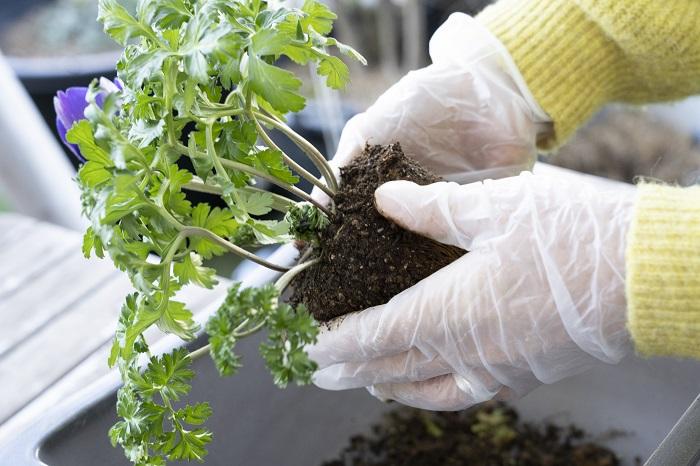 次に、同じく後ろ側に植えるアネモネをポットから出します。アネモネは球根植物です。根の部分に球根が入っているので土をくずさずに、根元の枯葉やゴミだけ取り除いて植えましょう。