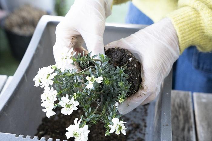 右側に植えるイベリスをポットから出します。イベリスは直根性で移植は嫌いです。根をいじられることが苦手なので、アネモネと同様に土はくずさず、根元の枯葉やゴミだけ取り除いて植えましょう。