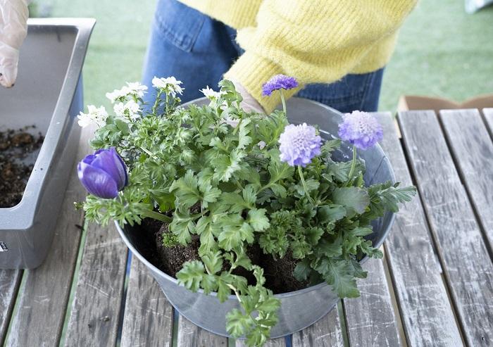 イベリスが美しく見える向きに、かつ、隣り合う苗の根元の高さをそろえて、ウォータースペースが1㎝とれるか気にしながら配置していきます。