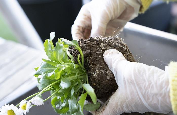 左側に植える、イングリッシュデージーをポットから出します。枯葉もゴミも無く、あまり根がはっていないので、そのまま植えていきます。