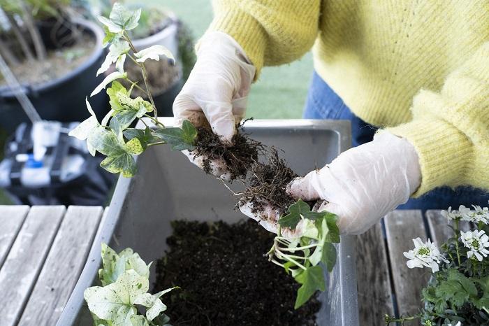 2つに分けたものをさらに分けて4つにしていきます。株分けしにくい苗の場合は、無理に分けると根が全く無い状態の株ができてしまうので気を付けましょう。  株分けしやすそうな苗を選ぶことも大切です。苗の根元をよく見て、茎と茎の間隔があいているものは株分けしやすいことが多いです。