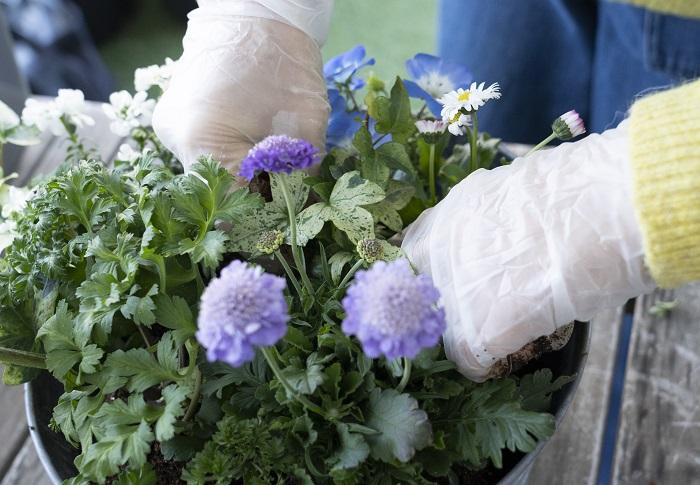次に、真ん中の隙間に、白い斑が美しい株を植えます。