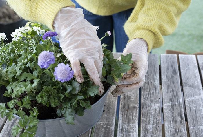 左側には、ヘデラの茎が伸びた時に美しい流れをつくってくれるイメージをしながら、小さな株を植えます。