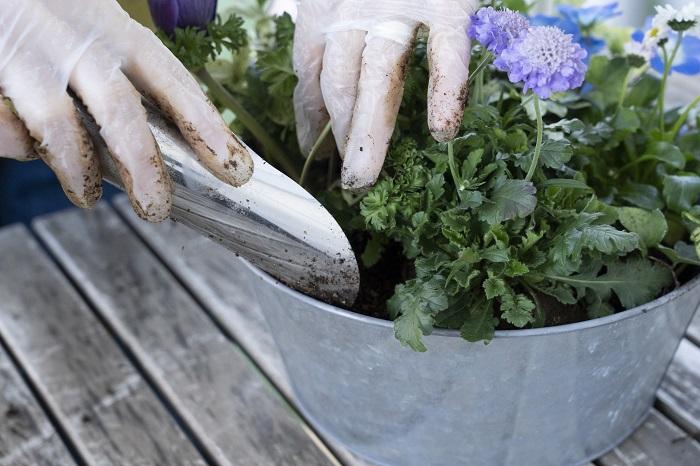 苗を全部配置したら、苗と苗の間に土を入れます。
