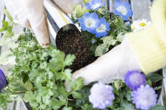 真ん中の苗の間にも隙間があります。苗がぐらつかないようにしっかりと土を入れます。