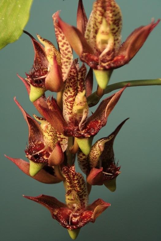 カタセタム・シュミディアナム  ブラジルのベラビスタオーキッド園主のアントニオ・シュミットが発見したカタセタムの原種。鮮やかな花色とドット柄がポイント。 「ちょっと前まではドット模様の花は人気がないといわれていましたが、最近は人気急上昇中。今、植物に関心が高い人に響く花なのかもしれませんね。」