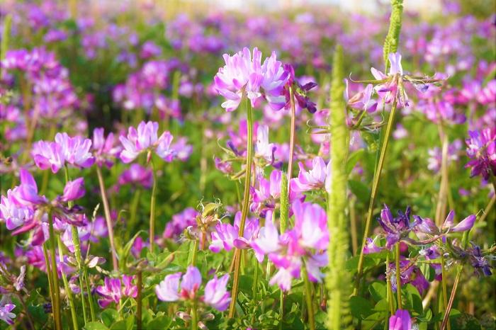 昔は春の田畑に行けば一面ピンクの蓮華(れんげ)の群生に出会えましたが、最近はめっきり見かけなくなりました。なぜならば稲刈りが終わった後の畑に蓮華(れんげ)の種をまいて、わざと咲かせていたからです。  わざと咲かせていた理由は、蓮華(れんげ)は他のマメ科の植物と同様に、根に根粒菌を寄生させています。この根粒菌は植物にとって大切な栄養素である窒素を固定させるので、土壌が肥沃になります。さらに田植え前に土壌に漉き込めばそのまま肥料にもなります。  化成肥料が無かった時代、育てる植物も肥料も全てを自然のもので賄っていた、素敵な時代です。