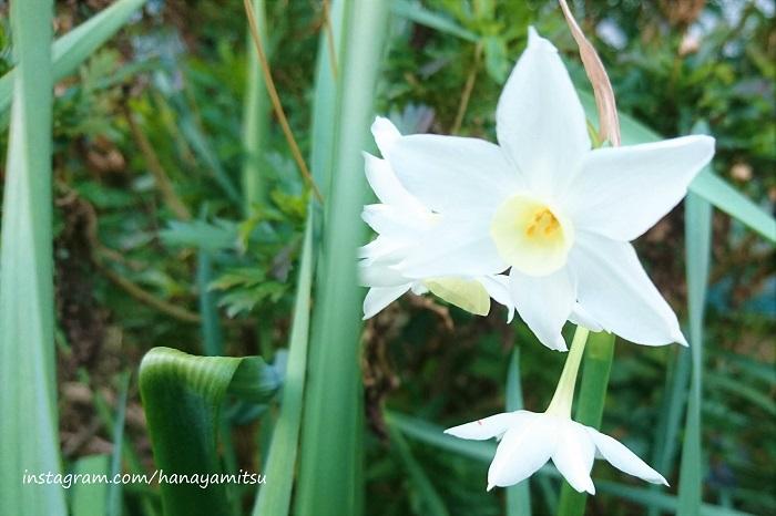 ■学名:Narcissus  ■科名:ヒガンバナ科  ■分類:球根植物  スイセンはまだ寒いうちから咲き始める、香りの良い春の球根花です。12月くらいから咲き始める早咲きの種類から、3月くらいまで咲く品種まで様々です。  目が覚めるようなすっきりとした芳香は、いつまでも顔を近づけていたいような気持にさせられます。