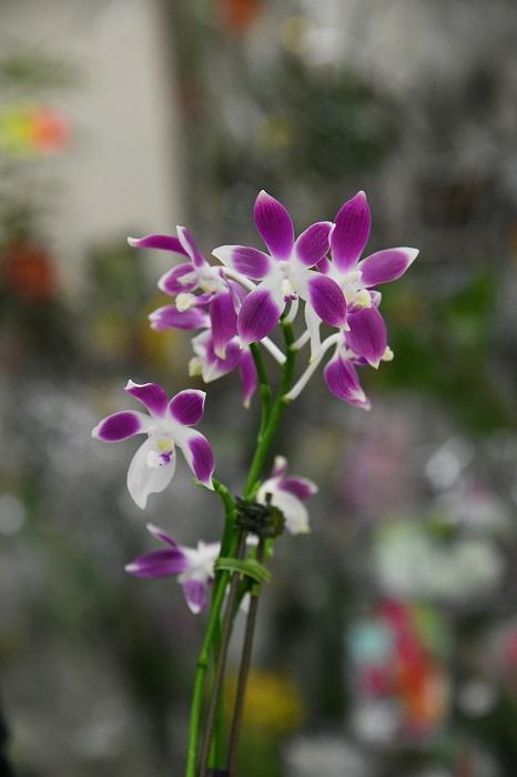オススメはもちろんファレノプシス。  「こちらのファレノプシス・スペシオーサ'パープル'は赤花の種類をもとにつくられた品種。白地にくっきりとした紫色がのる品種です。この品種の面白いところは、花がいくつか咲くと、花弁の一つが白いものが咲くところ。すべての花にしっかり花色が出るのもいいですが、この花のように、花弁一枚がすっきりとした白だと、それはそれでユニーク。いくつか花が咲いたときに、全体としてみると動きが生まれてくるのも面白いところです。」