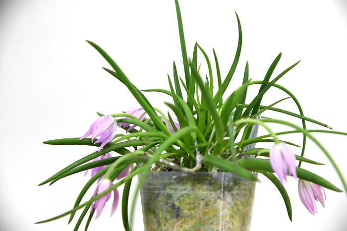 そんな松本さんがオススメしてくれたのはこちらのレプトテス。  「レプトテスは南米原産のランで、あまり大きくならないタイプ。このレプトテス'スプリングカラー'はレプトテスとしては大きめの花をたくさん咲かせるおすすめ品種。花がないときも、多肉質の葉がきれいだから観葉植物的に楽しむこともできますよ。  育て方はカトレアに似てて、よく日に当てて、水は水ゴケがしっかり乾いてから与えてくださいね。」
