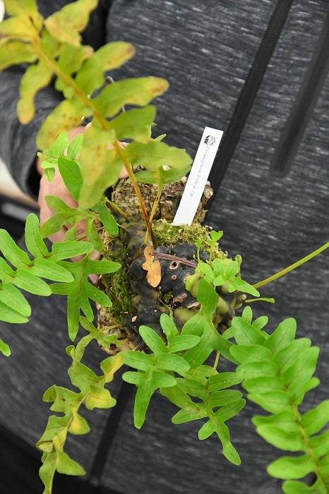 「オススメはシダ科のアリ植物レカノプテリス。この'イエローチップ'は育てやすい種類なので、アリ植物に初挑戦してみたい人にもおすすめ。いきなり大きい株はちょっと…という人には、タネから育てたミルメフィタム・セレビカムの小株もあります。自分の手で、大きく育ててみてください!」